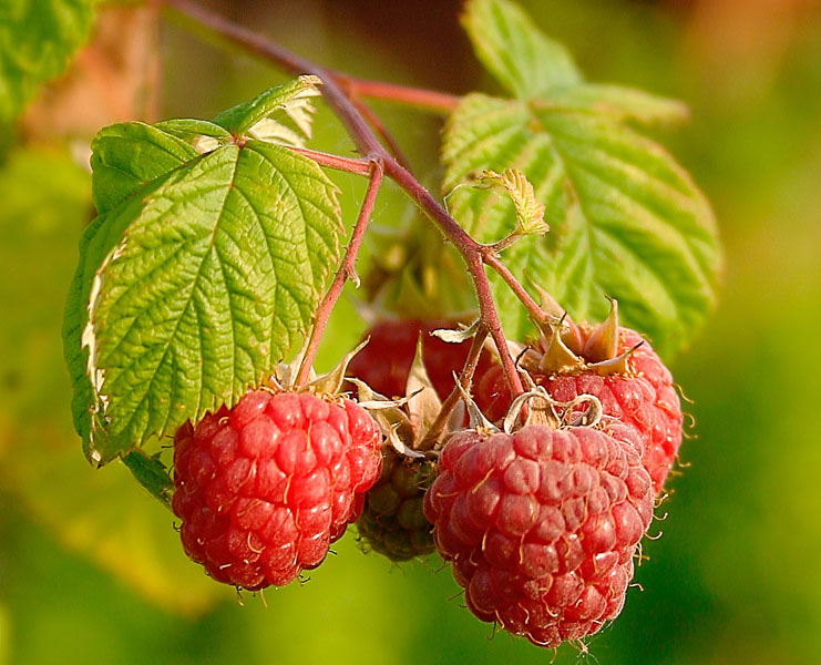 Antioxidants from raspberry for fertility