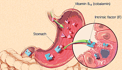 Significance of Vitamin B12 foods and effects of its ... B12 Deficiency Spinal Cord