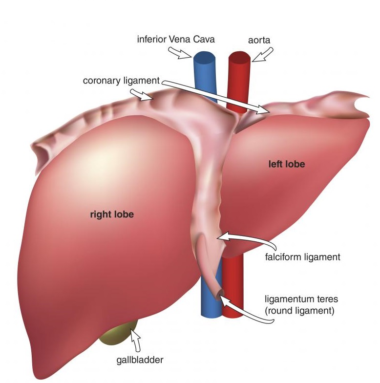 Anatomy of the Liver - InlifeHealthCare