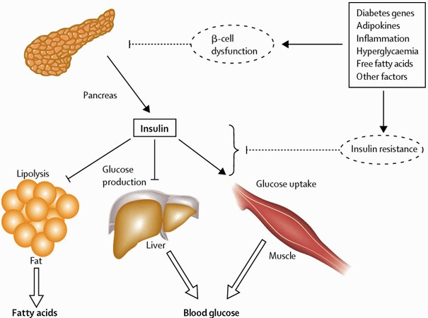 Role of Insulin in Our Body