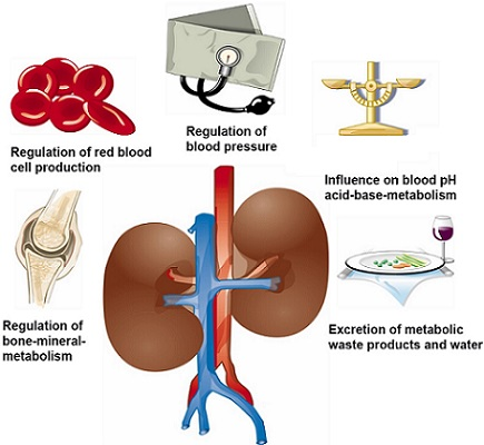 Functions Of The Kidney In The Body Inlifehealthcare