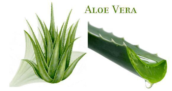 Aloe Vera for skin care and psoriasis