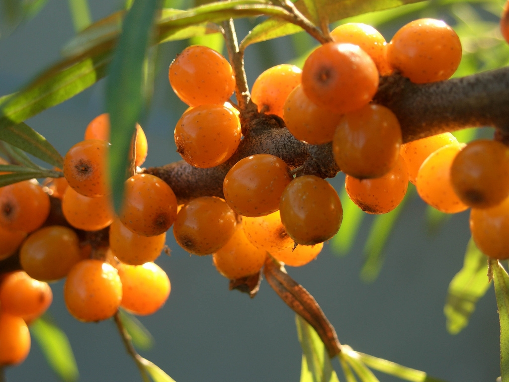 Sea Buckthorn Oil Capsules Benefits Side Effects