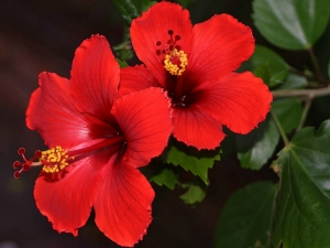 Home remedy for heart attack - Chinese Hibiscus