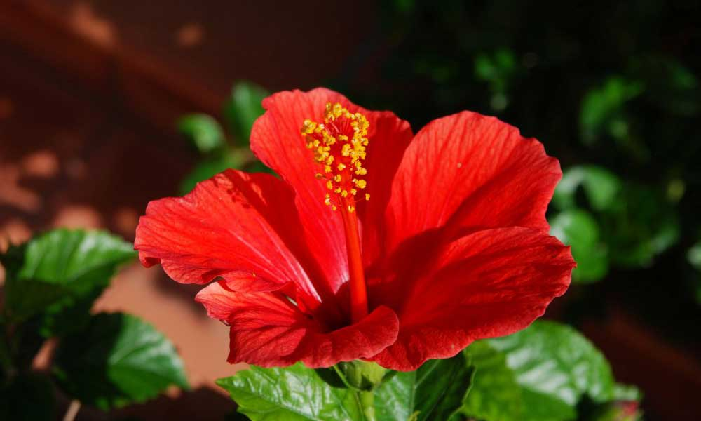 Explore the Importance and Benefits Of Hibiscus Shampoo