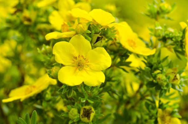 What is Evening Primrose Oil?