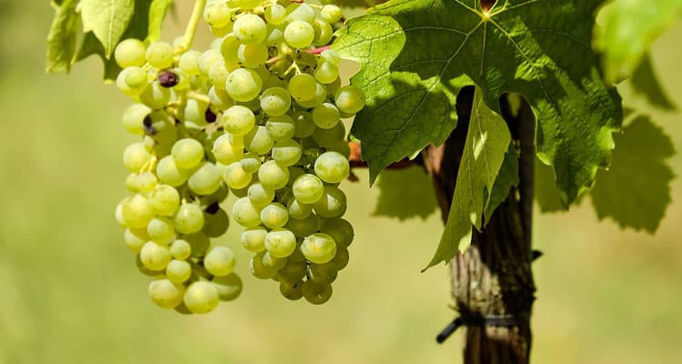 What Does Grape Seed Extract Do For Health & Skin?