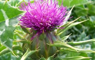 What Are The Benefits Of Milk Thistle?