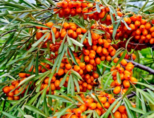 What Is Seabuckthorn Oil Used For?