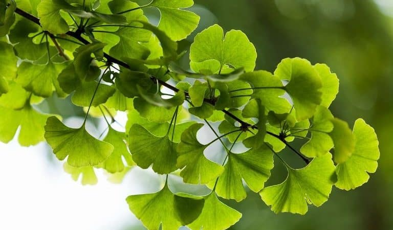 How Ginkgo Biloba Can Help Improve Your Health ?