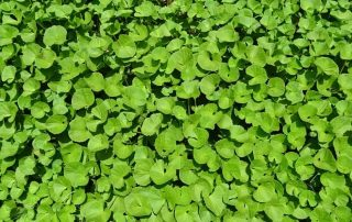 15 Amazing Health Benefits Of Brahmi Extract