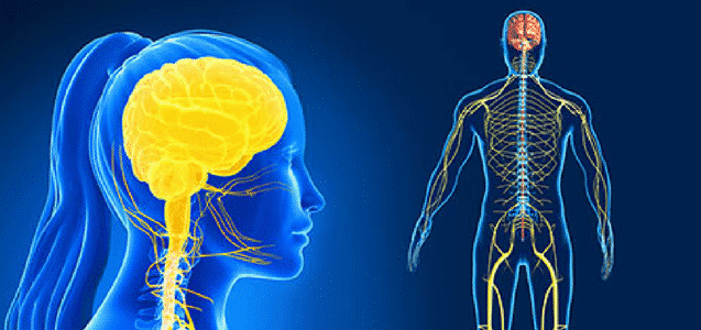 Function Of Human Nervous System