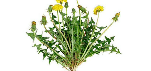 4. Using Root Of Dandelion