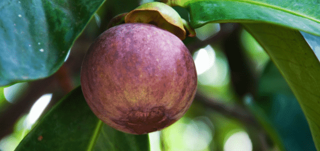 Is Kokum Beneficial For Body Slimming?