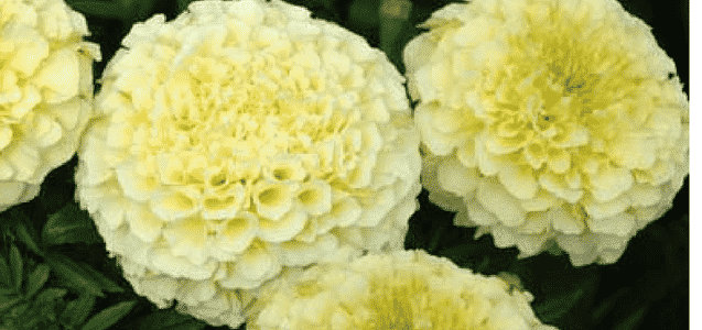 5. Marigold Spray